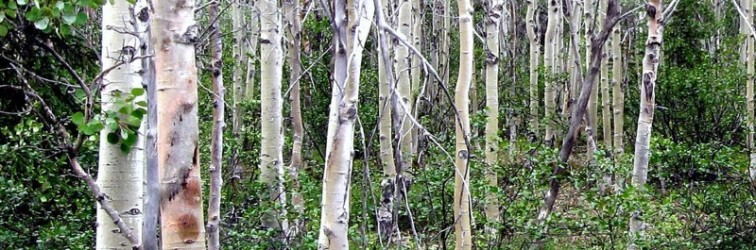 Quaking Aspens Arctic climate change