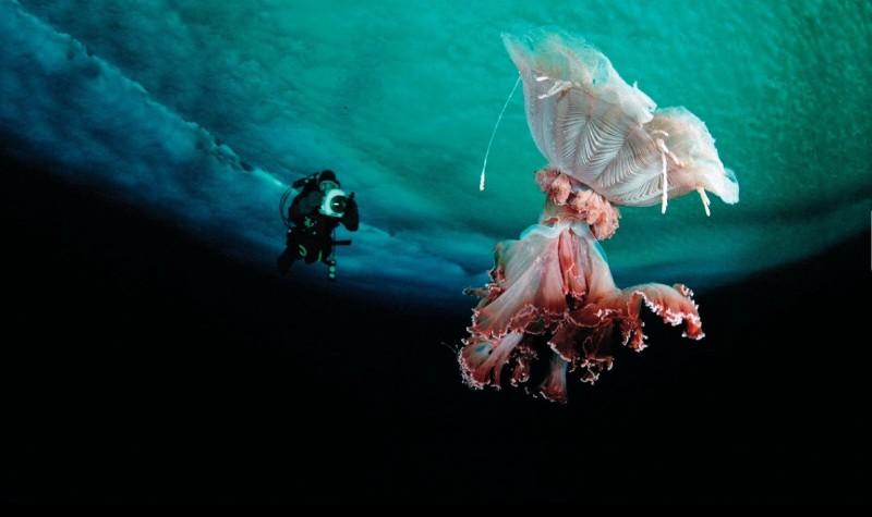 Jellyfish Species - Box Jellyfish, Deepstaria Enigmatica ...